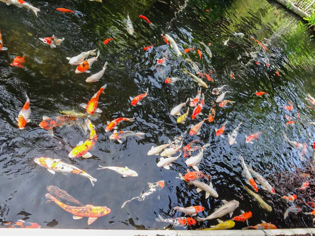 Koi fish at the Langkawi Bird Paradise