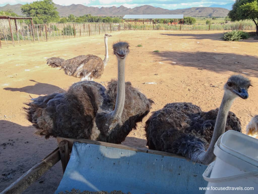 Hungry Ostriches-2
