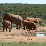 Elephants at a watering hole in the Addo Elephant Park