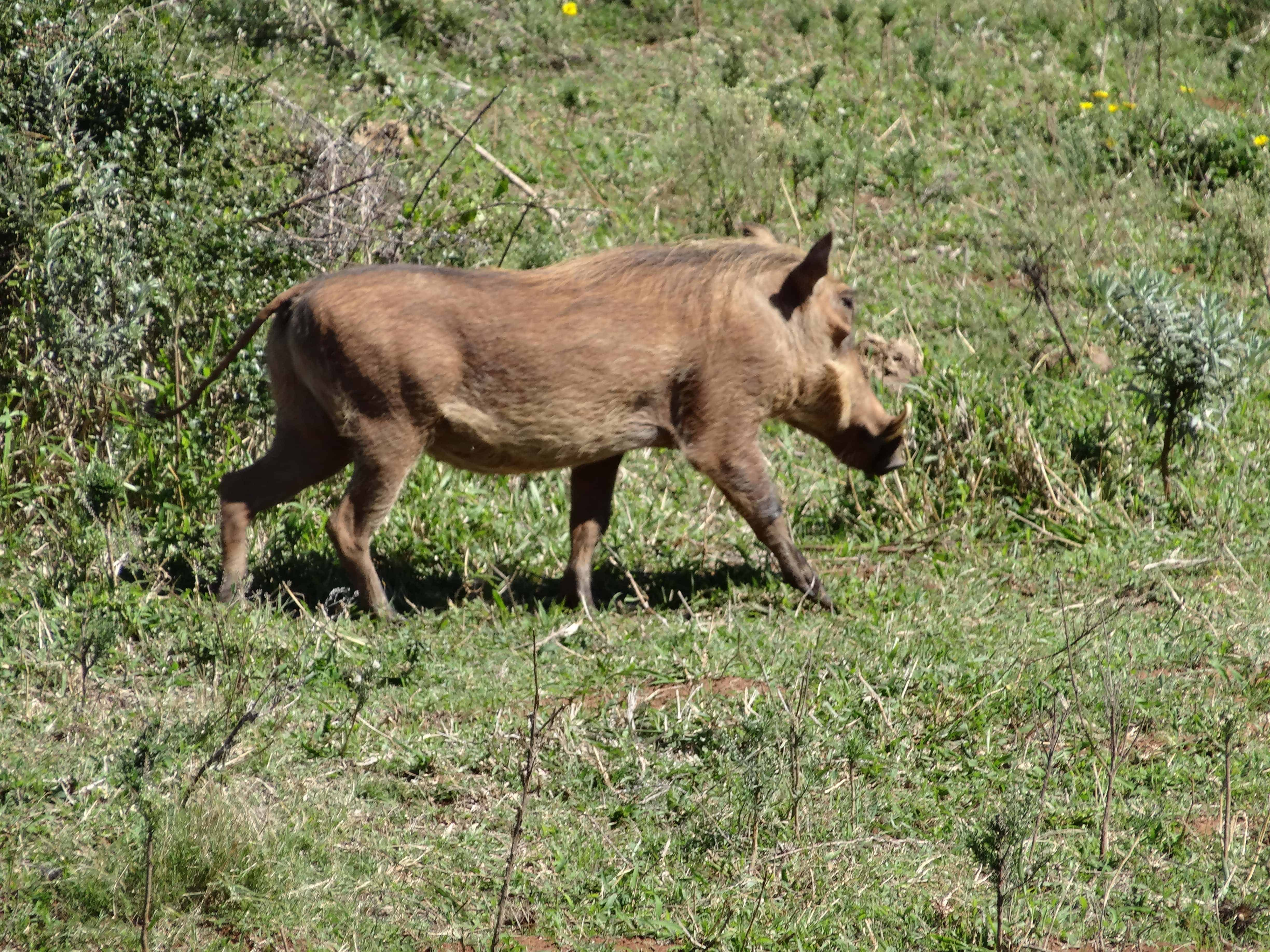 Warthog in the Addo Elephant Park
