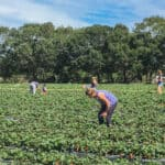 Picking-strawberries-at-the-Redberry-Farm