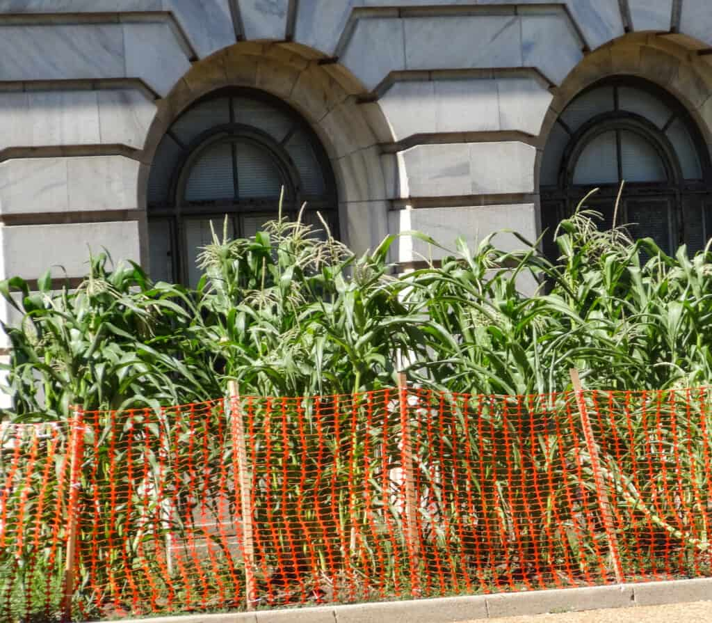 National Mall in Washington - Department of Agriculture Maize